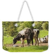 Bull And Cows Grazing On Grass In Farm Maine Weekender Tote Bag