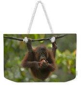 Orangutan Pongo Pygmaeus Young Eating Weekender Tote Bag
