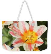 Beautiful Tulip With A Yellow Center And Pink Striped Petals Weekender Tote Bag