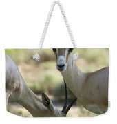 Dorcas Gazelle At The Sedgwick County Weekender Tote Bag