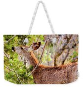 Mule Deer Foraging On Pine On A Colorado Spring Afternoon Weekender Tote Bag