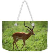 Male Impala Crossing Grassland With Tongue Out Weekender Tote Bag
