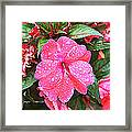 Impatiens Framed Print by Debbie Sikes