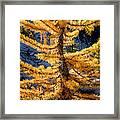 Larch Tree Closeup Framed Print