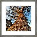 001 Oldest Tree Believed To Be Here In The Q.c. Series Framed Print