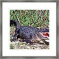 American Alligator Framed Print