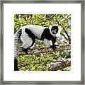 Black And White Ruffed Lemur Madagascar Framed Print