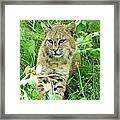 Bobcat Lynk Sitting In Grass Close-up Framed Print by Sylvie Bouchard