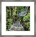 California Gnatcatcher Framed Print