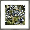Cedar Blue Framed Print