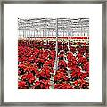 Christmas Poinsettia's. Framed Print