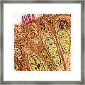 Ciliated Epithelium Of Oviduct, Sem Framed Print