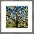 Fruit Orchard Framed Print