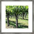 Grape Vines In A Row Framed Print