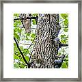 Hawk Hunting For A Squirrel On An Oak Tree Framed Print