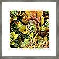 Hens And Chick Plants Framed Print