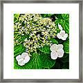 Hobblebush On Mackinac Island-michigan Framed Print