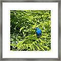 Indigo X Lazuli Bunting Hybrid Framed Print