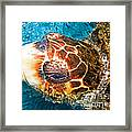 Loggerhead Sea Turtle Framed Print