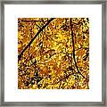 Maple Tree In Yellow Fall Colors Framed Print