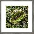 Oak Leaf Stoma (quercus Robur) Framed Print
