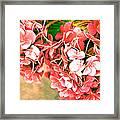 Pink Hydrangea Framed Print