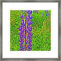 Purple Lupine On Campobello Island-nb Framed Print