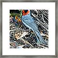 Red-faced Warbler At Nest With Young Framed Print