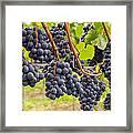 Red Wine Vineyard 4 Framed Print
