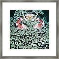 Spotted Porcelain Crab In Anemone Framed Print