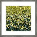 Sunflower Nirvana 13 Framed Print