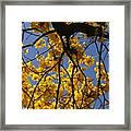 Tabebuia Tree Blossoms Framed Print