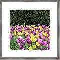 Tulip Flowers In A Garden, Chicago Framed Print