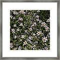 Tulipa Saxatilis Ssp. Bakeri Framed Print