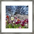 Tulips At Dallas Arboretum V94 Framed Print