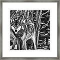 Two Gray Wolves Framed Print