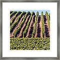 Vineyard Rows Framed Print