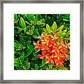West Indian Jasmine In Sukhothai Historical Park-thailand Framed Print