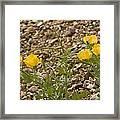Yellow Horned Poppy (glaucium Flavum) Framed Print