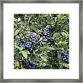 Blueberry Bush Framed Print