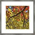 Autumn Maple Leaves Framed Print