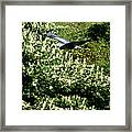 Blue Heron Flight  Framed Print