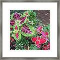 Coleus Excitement Framed Print