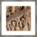 Ocellated Lizard Timon Lepidus Framed Print