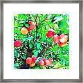 Orange Trees With Fruits On Plantation Framed Print