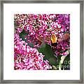 Snowberry Clearwing Hummingbird Moth Framed Print