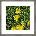 Yellow Ice Plant In Bloom Framed Print