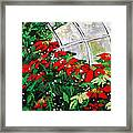 2013 010 Poinsettias And Dots Conservatory At The Us Botanic Garden Washington Dc Framed Print