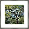 Bok Tower Gardens Oak Tree Framed Print