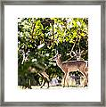 3 Bucks Caught In A Orchard Framed Print